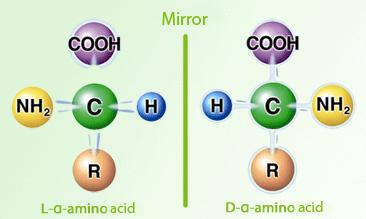 L- and D- amino  acids