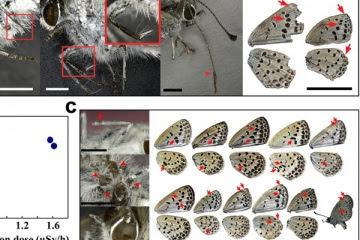 mariposas afectadas por radiacion de nuclear japon