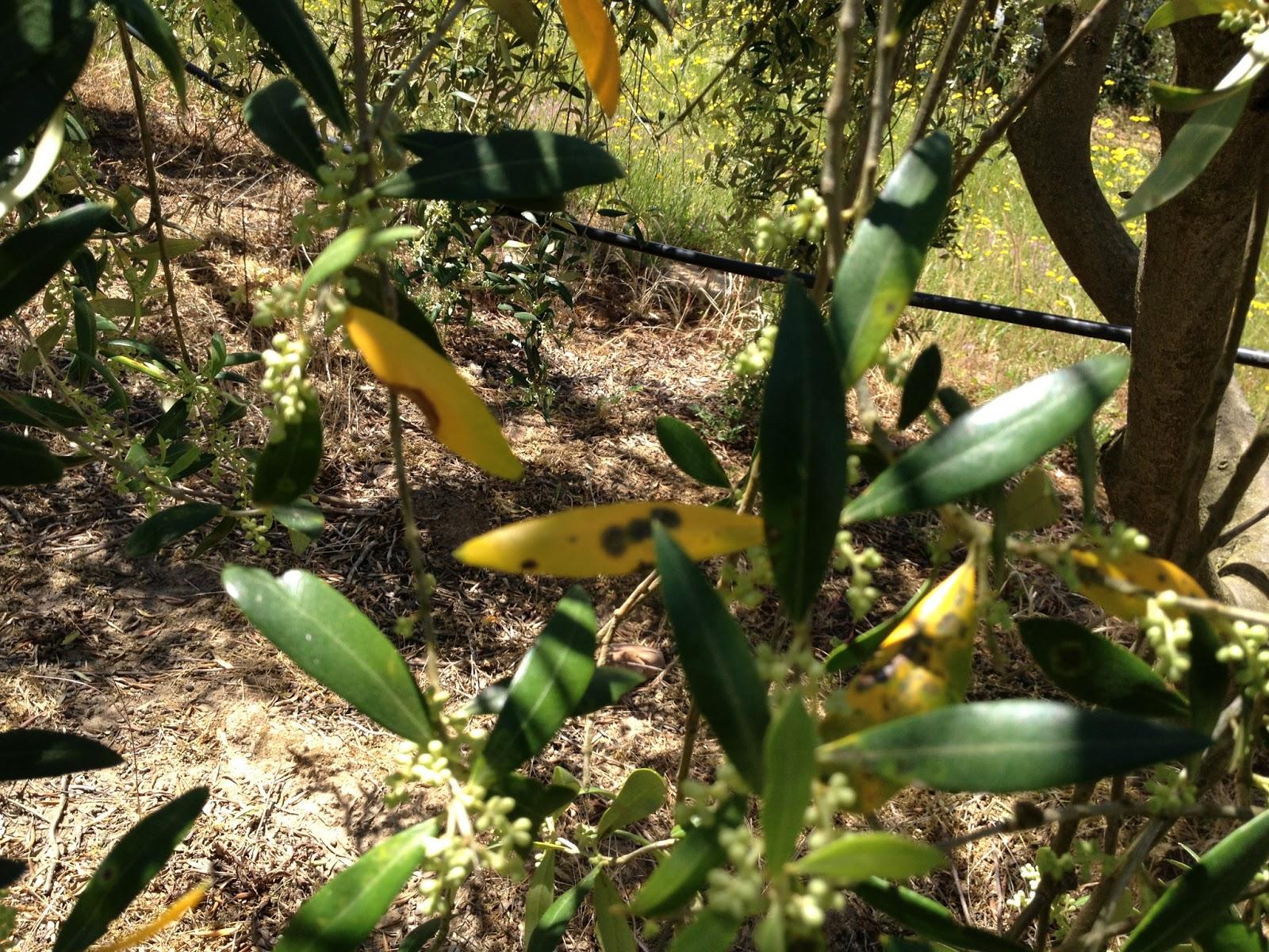 plastyagro el repilo en el olivo