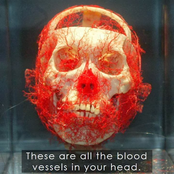 Blood Vessels, head