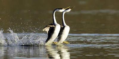 Cara Hewan Berjalan di Atas Air