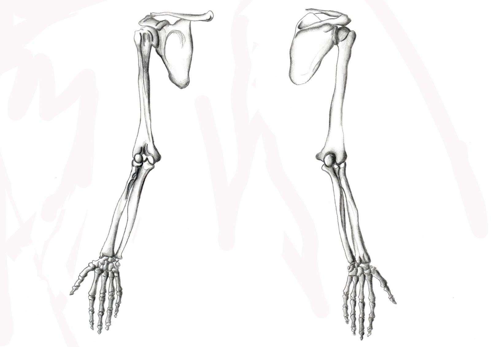 Excepcional Anatomía Del Hueso De La Extremidad Superior Ornamento ...