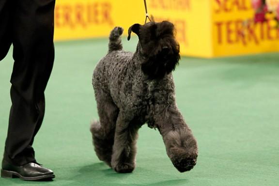 Kerry Blue Terrier Westminster Dog Show