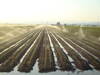 Sprinkler irrigation rice field photo - Sant Carles de La Rápita - Tarragona
