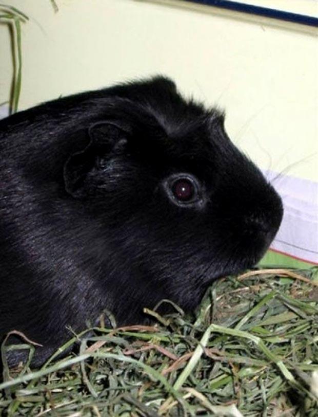 بالأسود أحلى حيوانات سوداء ولكنها جميلة melanistic-guinea-pi