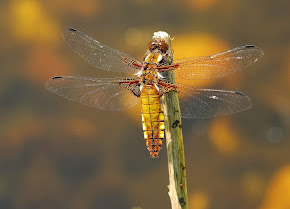 Broad-bodied Chaser female