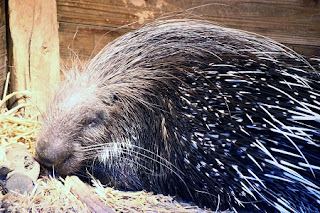 African Crested Porcupine