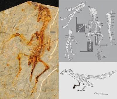 Zhongornis fossil