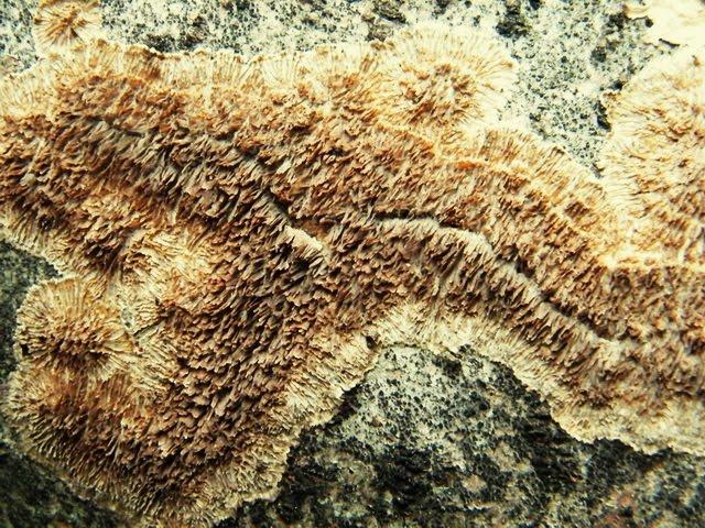 Trichaptum fuscoviolaceum