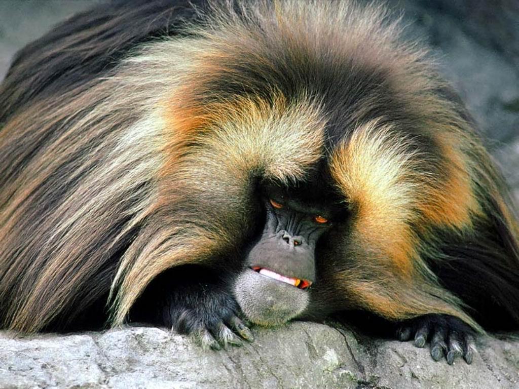http://1.bp.blogspot.com/-suEOQ3EllNA/T-6QxDsakOI/AAAAAAAACn0/kTrgJ8moFrk/s1600/Monkey+Wallpapers+Collections.jpg