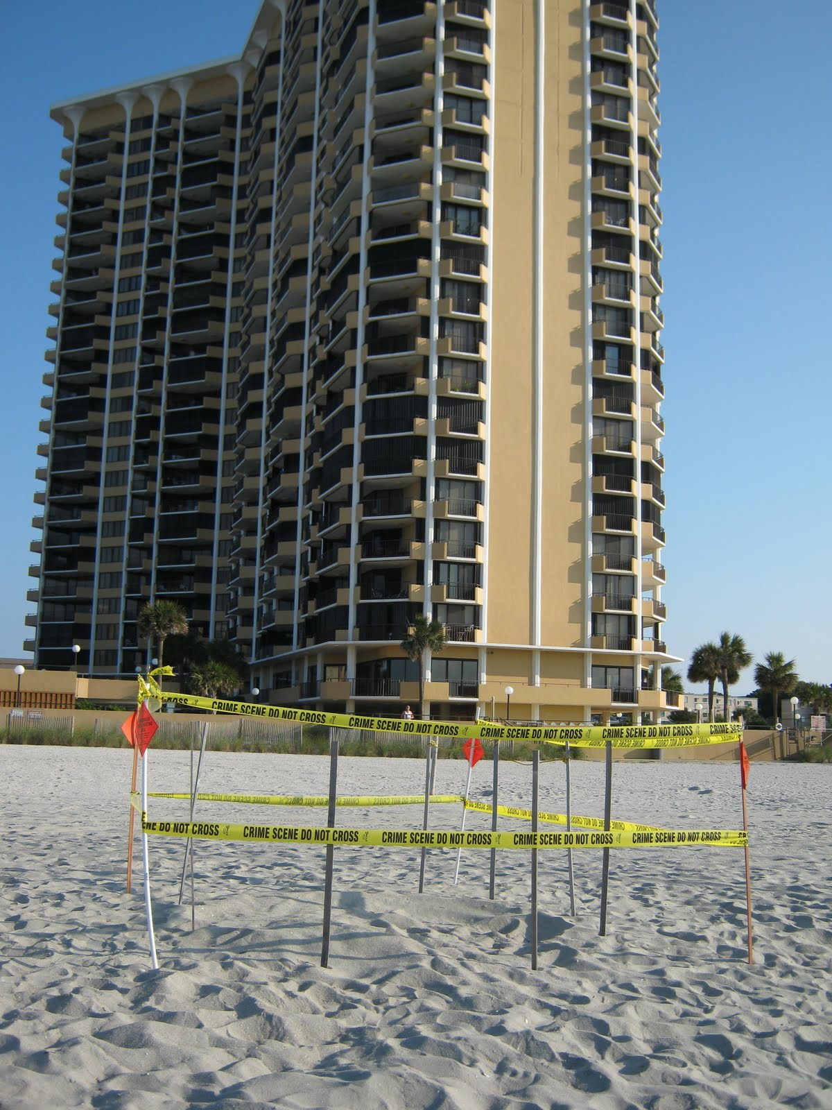 North myrtle beach sea turtle patrol myrtle beach nest relocated to walking up the beach at the high tide line donita was able to find the crawl following the crawl up the beach rob and donita found the body pit in front nvjuhfo Gallery