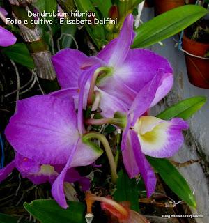 Dendrobium , Dendrobium híbrido Nobile