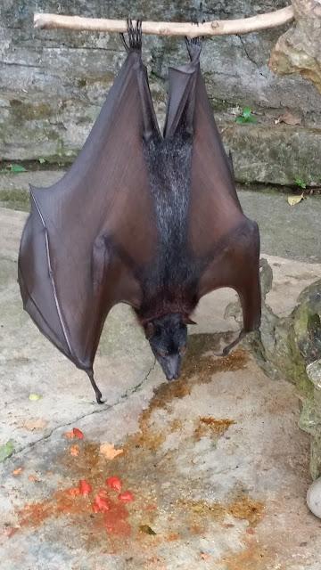 Zorros Voladores en Alas Kedaton (Bali)