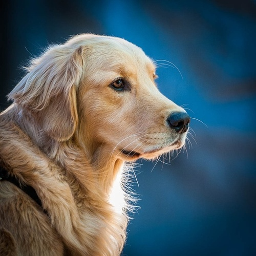 One Dog Love: Golden Retriever