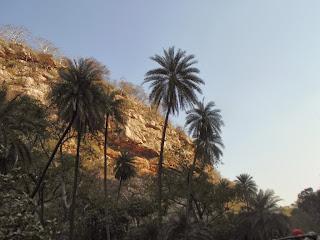 Phoenix sylvestris trees