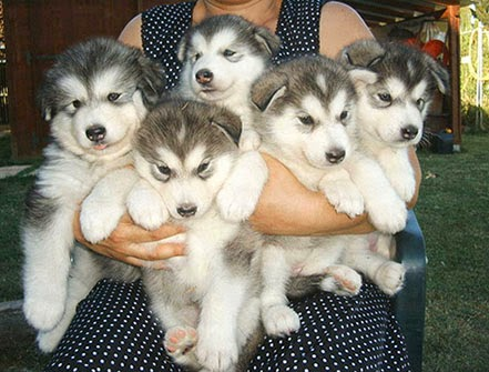 cute Alaskan Malamute puppy pictures j
