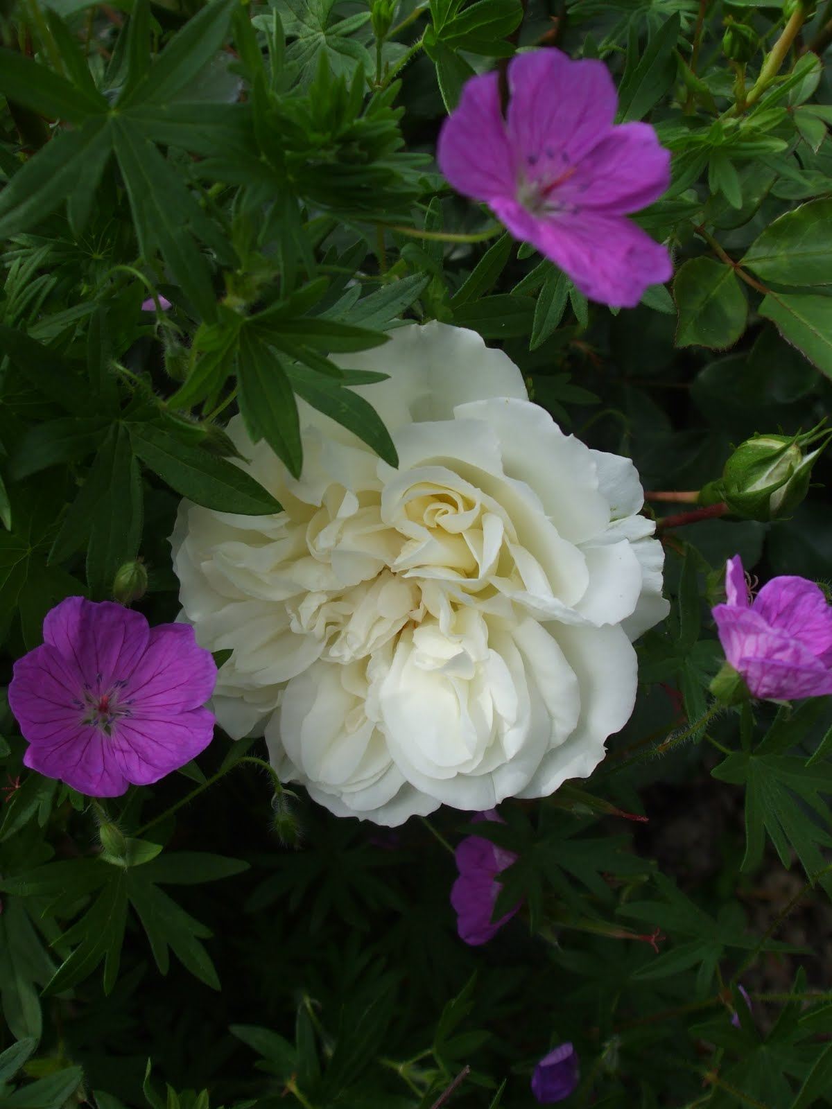 rose white meidiland
