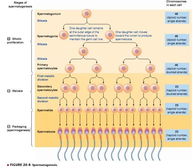 Stages Of Spermatogenesis