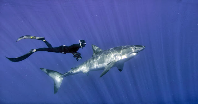 William Winram freediving with a Great White Shark in Isla Guadalupe, Mexico This is a still frame from the movie, shot using Red Epic cameras Photo: D.J.Roller