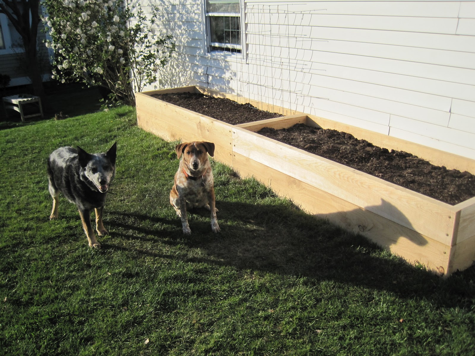 Local Color Tall Raised Garden Beds For The Yard With Dogs