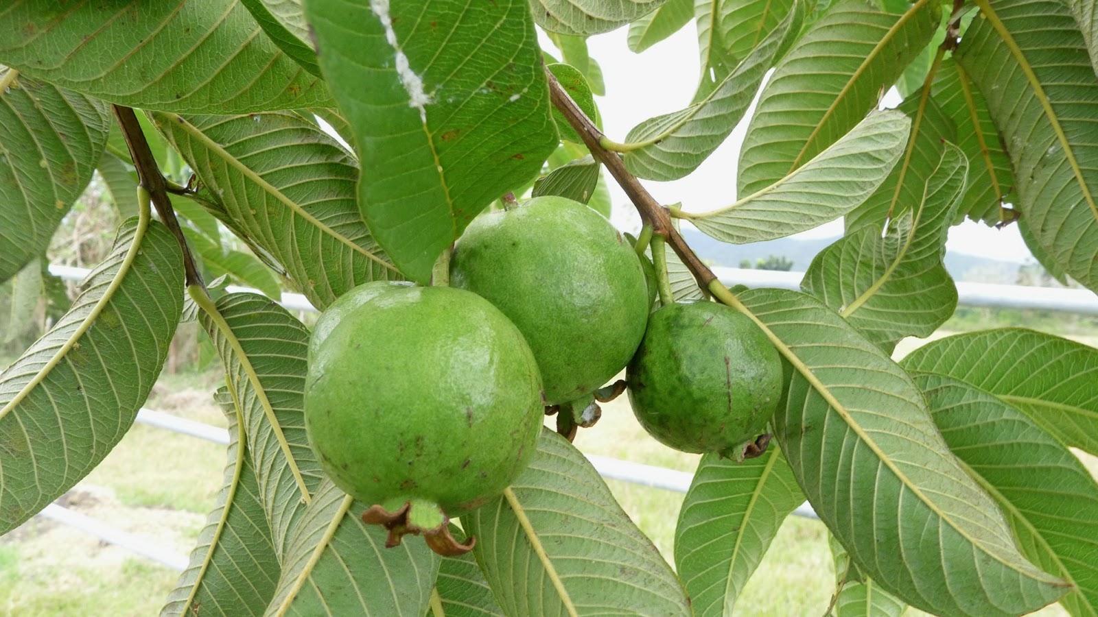 psidium guajava Distribution and habitat: psidium guajava is an evergreen shrub or small tree native to mexico, the caribbean and central and south america psidium guajava is grown.