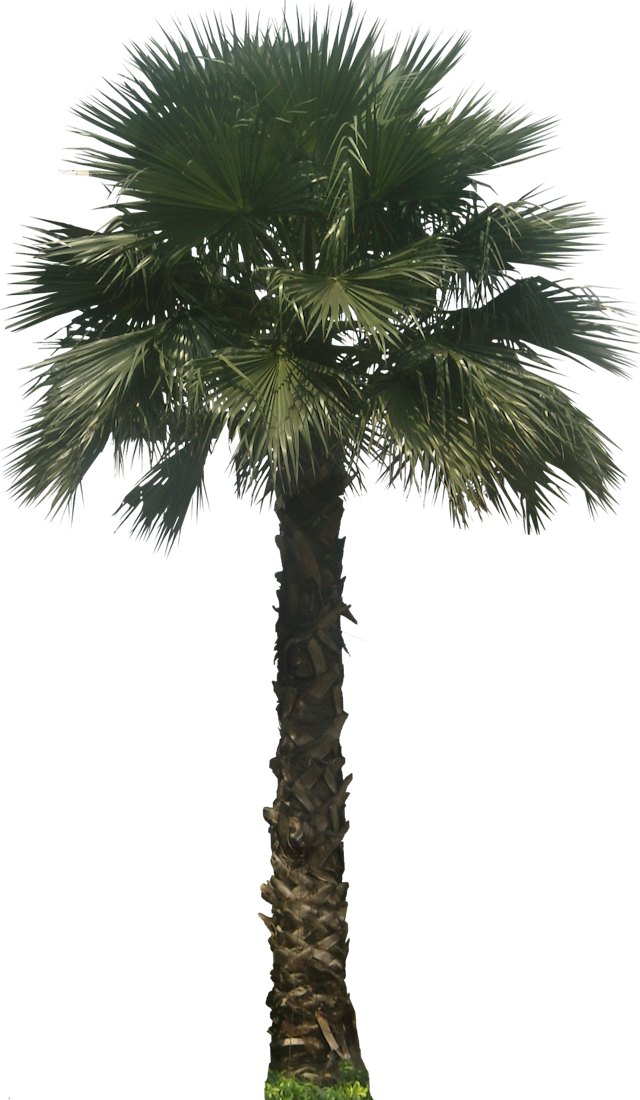 tropical plant pictures washingtonia robusta mexican fan. Black Bedroom Furniture Sets. Home Design Ideas