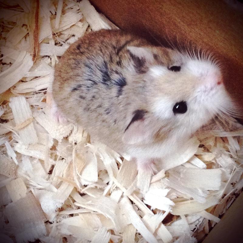 Robo Dwarf Hamster Sleeping | www.pixshark.com - Images ...