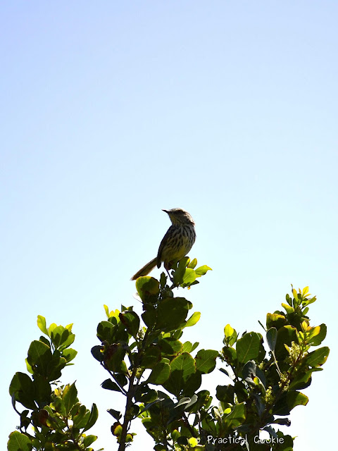 Karoo Prinia near Table Mountain