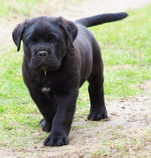 Cane Corso Puppy Picture