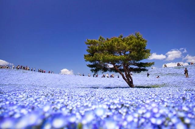 Hitachi Seaside Park,Hitachi Seaside Park hakkında bilgi
