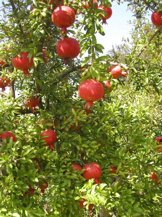 Lastly not only are pomegranates fun to grow they are also good for us.