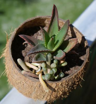 Aloe mitriformis x distans
