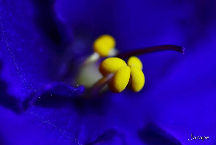 Violeta africana 12