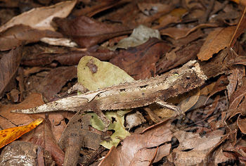 endangered Chamaleons