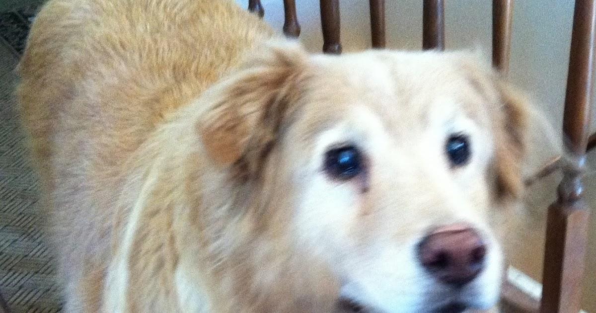 prednisone loss of appetite dog