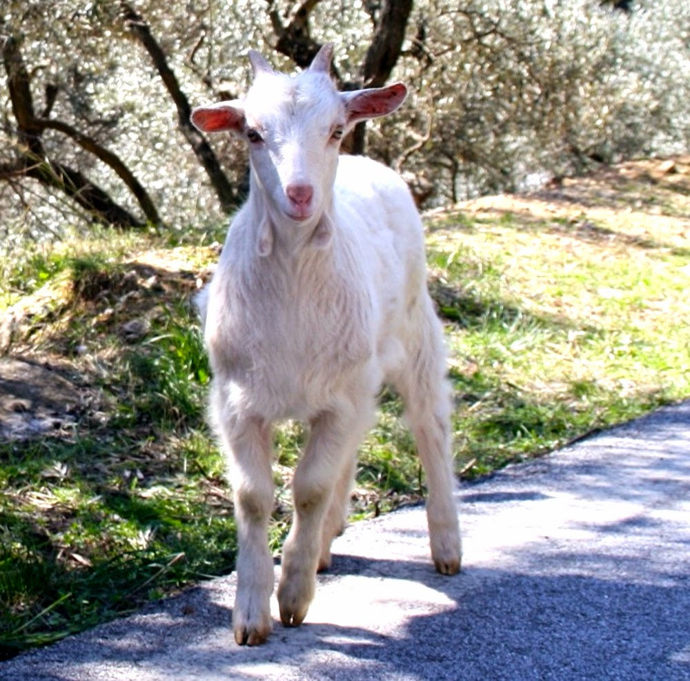 Skopelors goat, Skopelors goats, goat breeds in Greece