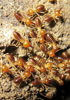 The subterranean foraging of Nasutitermes luzonicus