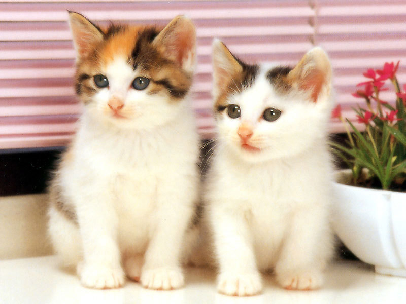 kittens wallpaper. Kittens Wallpapers