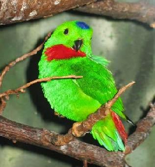 "Burung Serindit ""Loriculus"""
