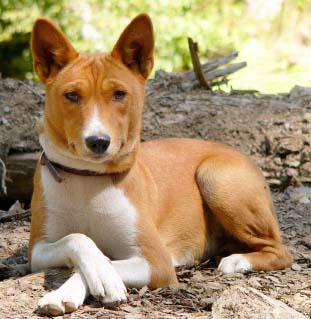 Does A Basenji Dog Bark