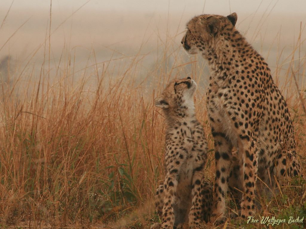 280 <b>Cheetah</b> HD Wallpapers   Backgrounds - Wallpaper Abyss