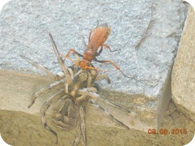 lupta intre insecte