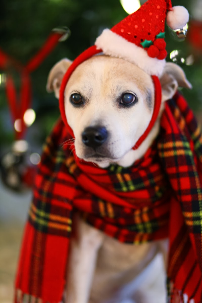 zoe-plaid-scarf-jack-russel-beagle-mix-holiday-style