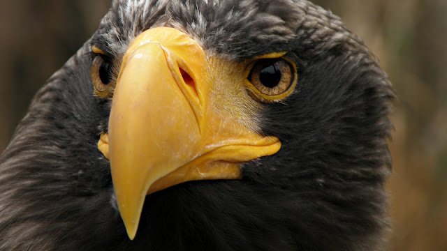 Very beautiful close up portrait photo of a eagle