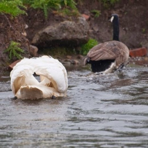 mute swan chasing Canada Goose