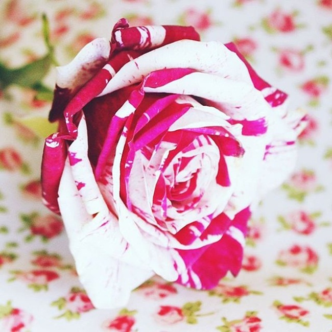 Jelena Zivanovic Instagram @lelazivanovic.Glam fab week.Most beautiful roses.Najlepse ruze.