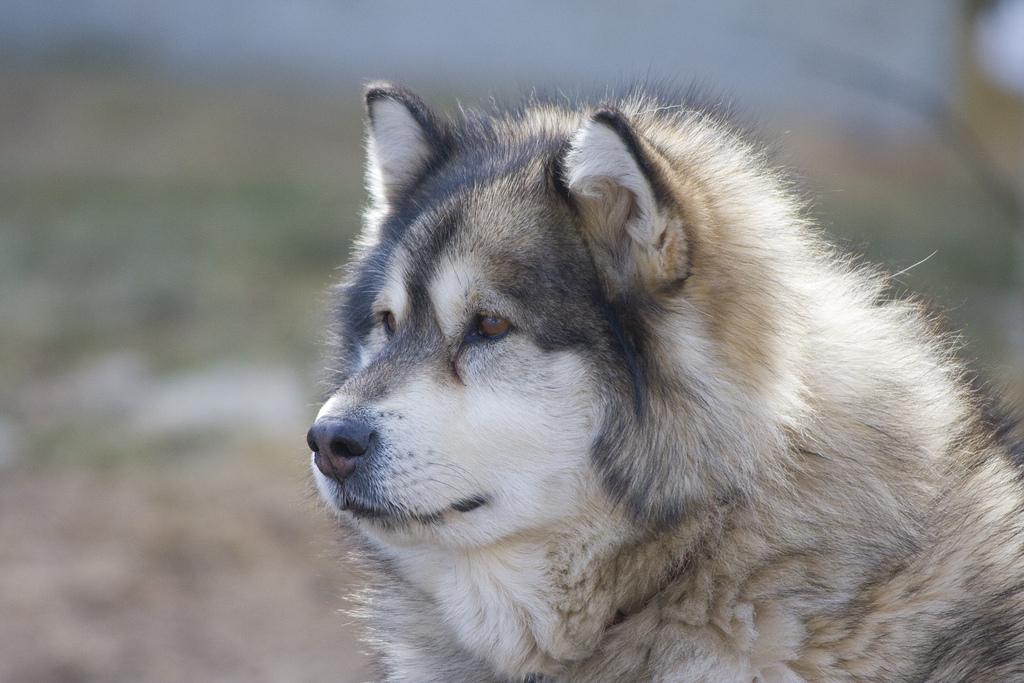 волчий хаски фото
