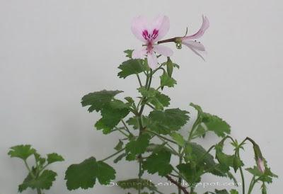 Scented pelargonium (geranium) Marie Thomas flowers and leaves