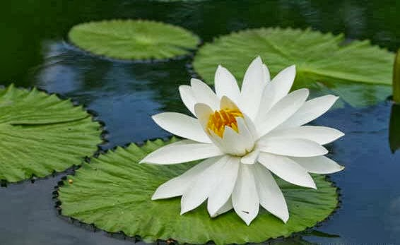 My Blog Bunga Teratai
