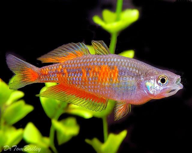 Parkinson 39 S Rainbowfish Informasi Dunia Air